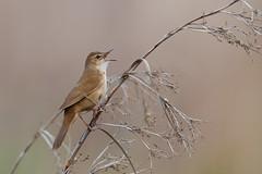 Savi's Warbler | vassångare | Locustella luscinioides
