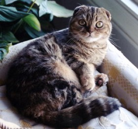 Scottish Fold Cat - Ms. Kitty