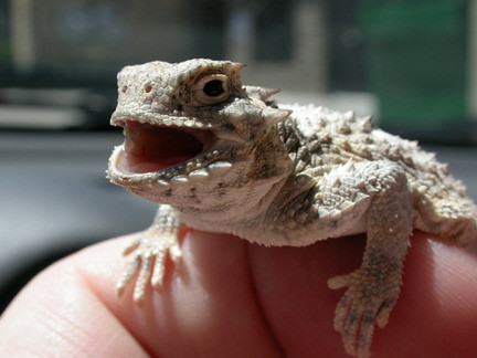 Boxer the desert horned lizard
