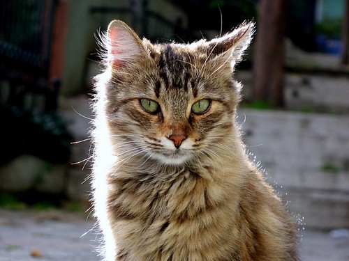 king of Cihangir cats!