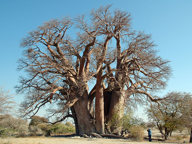 Old Baobob Tree