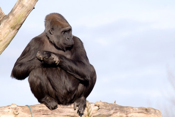 Gorilla in a tree.