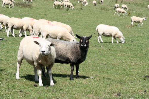 Offa's Dyke Walk 3 / black sheep