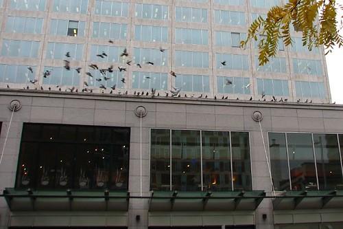 Pigeon Swarming