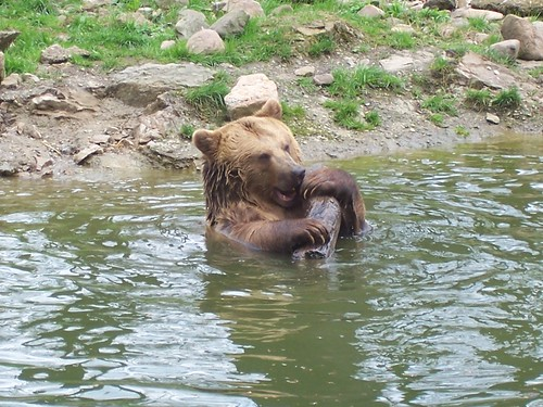 Bear with branch by Timo Heuer (http://www.flickr.com/people/upim/)