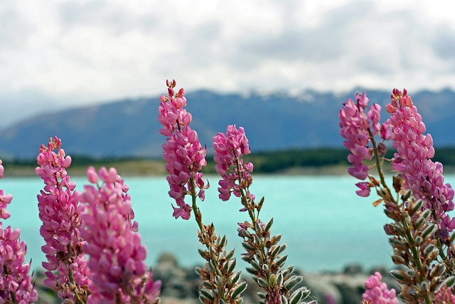 Lupins, Lake Pukaki
