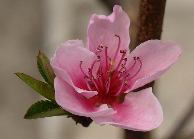 Peach Blossom Flickr Photo Sharing