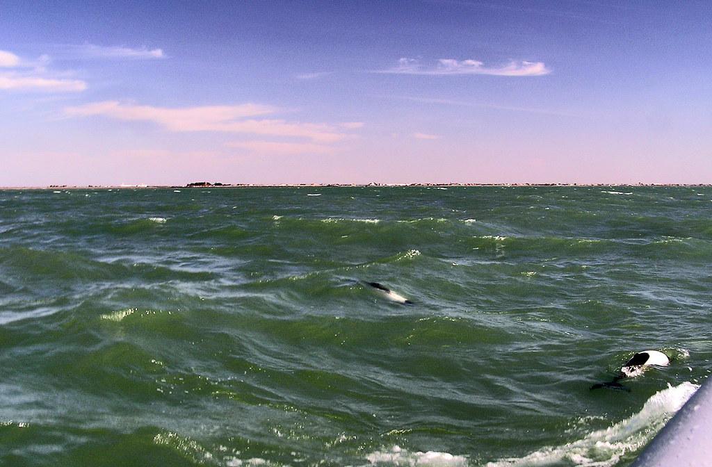 Delfin de Commerson o tonina overa Puerto de Rawson Chubut Argentina 68