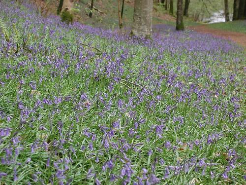 2004042916_Rockford bluebells
