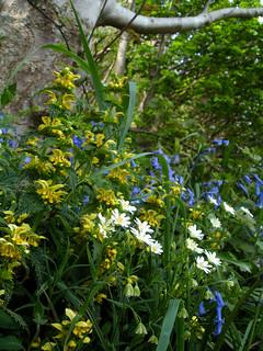 yellow archangel, bluebells and greater stitchwort - brakey bank