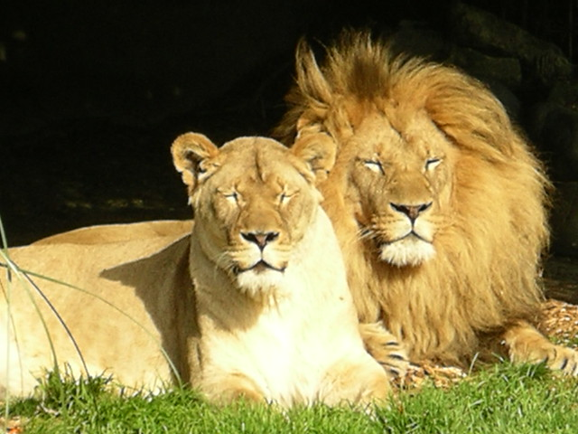 Photo:Lions By:dbeck03