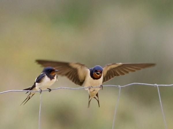 Andorinha das chaminés - Hirundo rustica - Barn Swallow