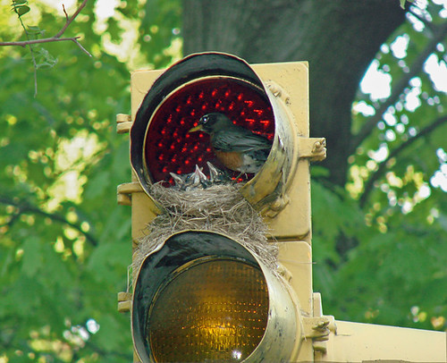 Central Park: Robin & babies at red light