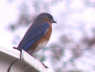 A Bluebird of Happiness on a Rainy Day