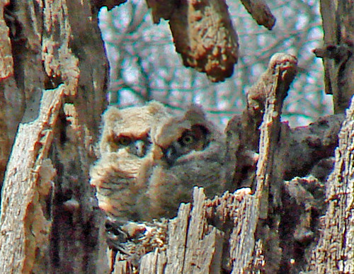 Alley Pond Park: GHOwlets