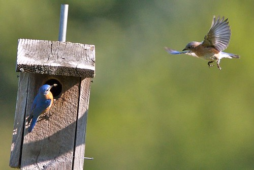 Junior bluebird flies in for a meal