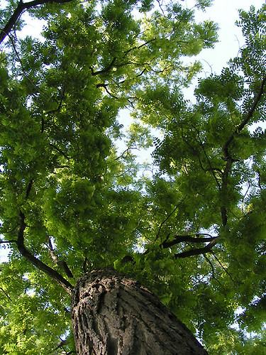 Walnut Tree, Looking Up (Michigan)