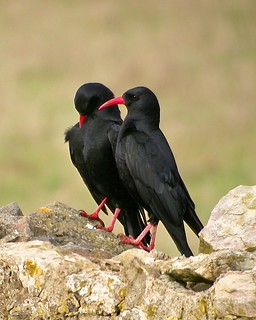 Red-billed Chough (Pyrrhocorax pyrrhocorax) by talis qualis, on Flickr