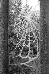 Spiderweb, web, web on bridge, web trees, web between trees, tree web,