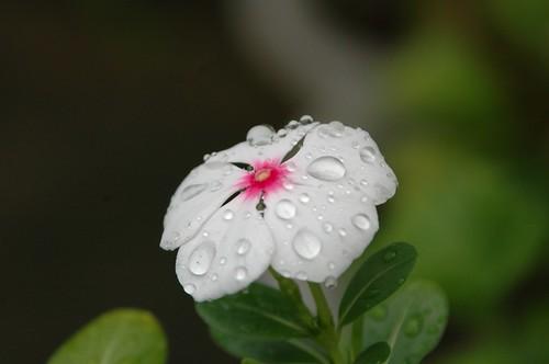 Waterdrop on the flower 1