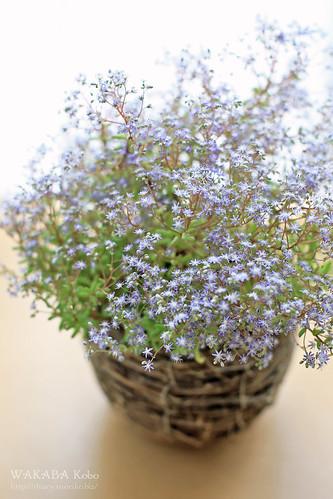 セダムの花 20150522-IMG_3077