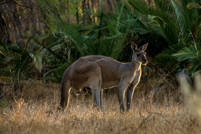 Kangaroo in evening light
