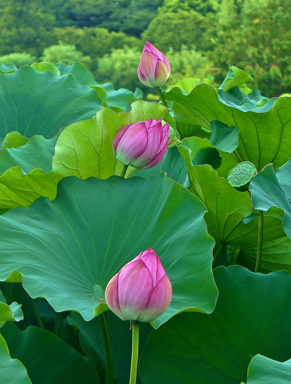 Beautiful lotus flowers at shinobazu pond in ueno park experience all in a queue lotus flowers at ueno park izmirmasajfo