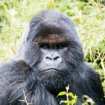 Gorilla Trekking in Volcanoes National Park, Rwanda