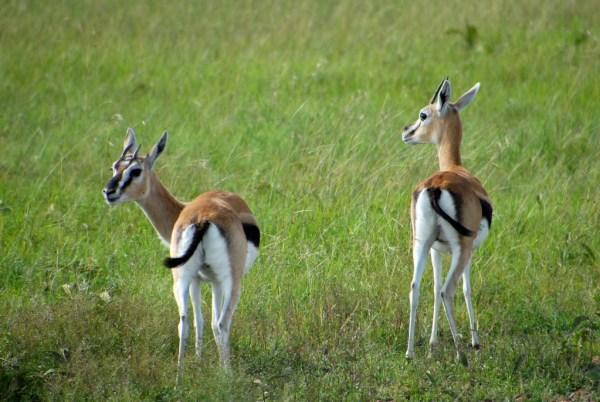 africa tanzania thomsons gazelle eudorcas thomsonii - 1023×687