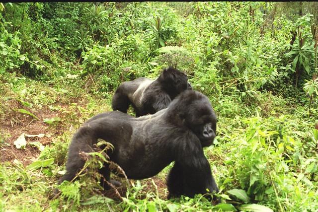 KromerGorillas - 20050804 - Gorilla Rearguard Standing - Sarel K