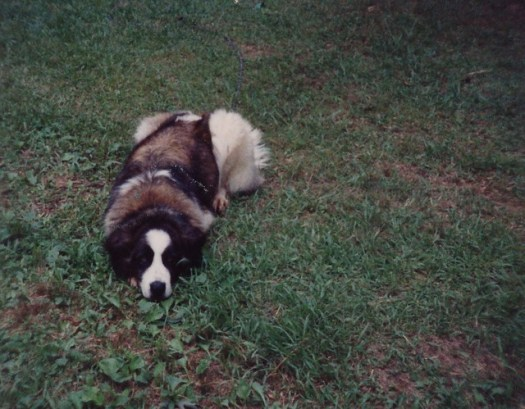 Our Saint Bernard, Gidget ,1990