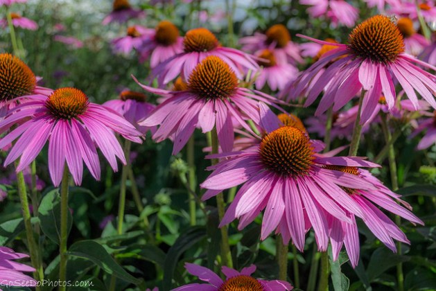Cone Flowers 42/100