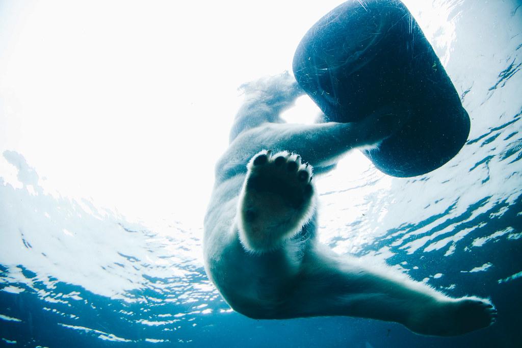 Imagen gratis de un oso polar jugando en el agua