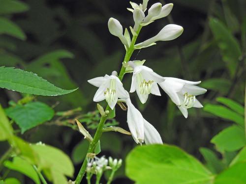 Flower called 'Oobagiboshi' at Jike Hometown Village(Yokohama, Japan)