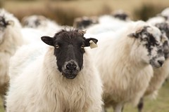 Black-faced sheep, close-up; others behind him.  Or her.