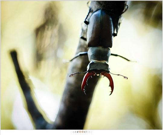 Het mannetje van het Vliegend Hert met zijn kenmerkende gewei
