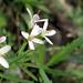 Illinois Wildflower