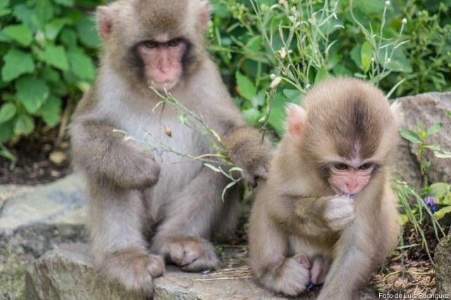 Macacos de Jigokudani