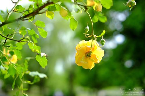 薔薇 20150522-DSCF3415