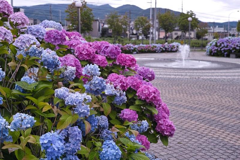 札幌発寒 春日緑地の紫陽花