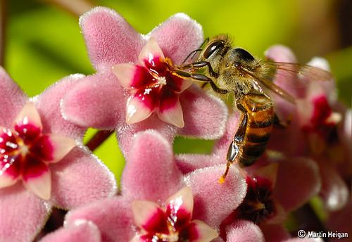 Bee on Hoya flowers by Martin_Heigan