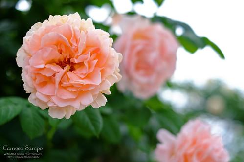 薔薇 20150522-DSCF3509