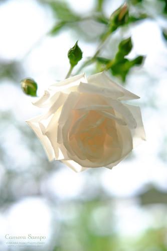 薔薇 20150522-DSCF3546