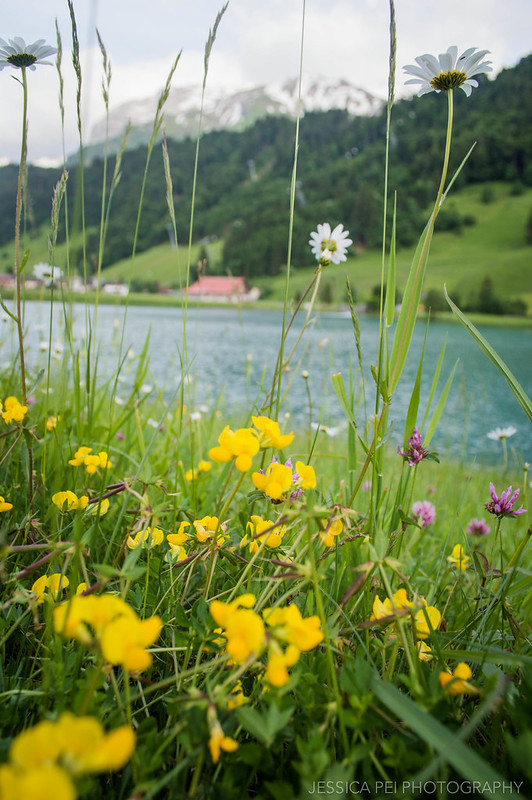 Wildflowers Engelberg Switzerland