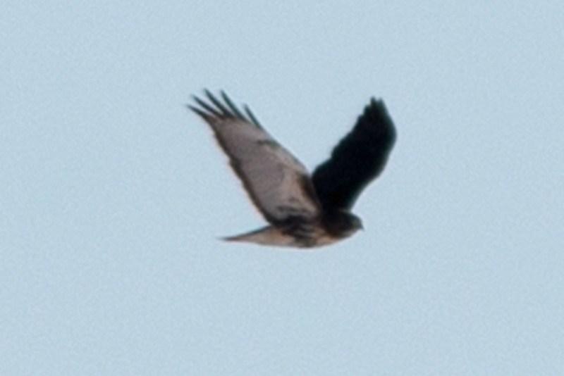 _DSC6164 Red-tailed Hawk