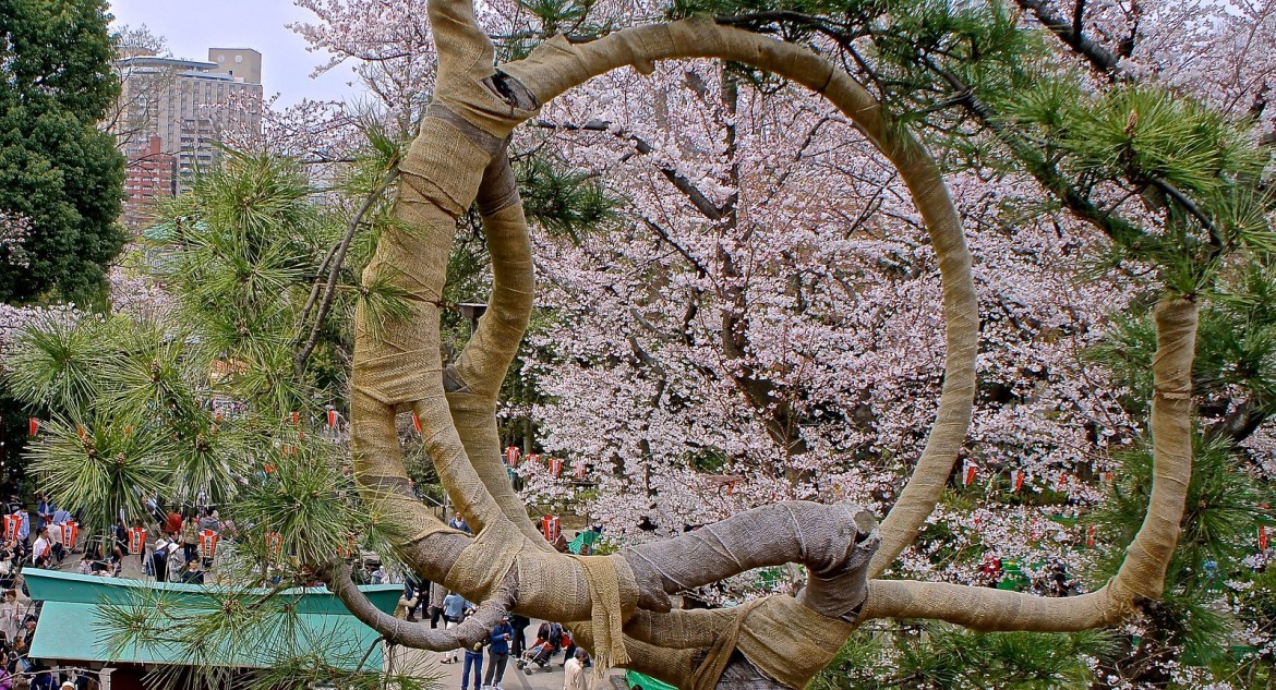 Cherry Blossom from the Moon Pine