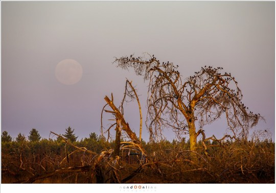 De maan, tien minuten na opkomst aan de Zuid-Oostelijke hemel. Het laatste zonlicht zet de boom met spreeuwen in een warm licht.