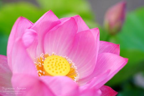 ハスの花 20150610-DSCF5040