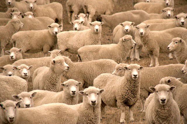 Sheeps Eyes