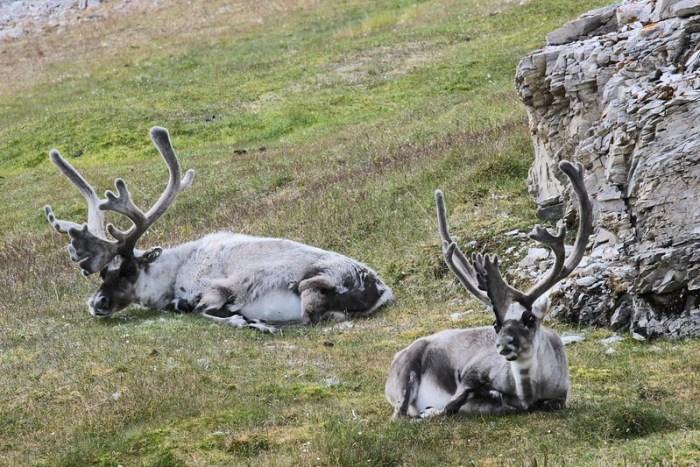 Arctic Reindeer, Alkhornet, Svalbad, Arctic